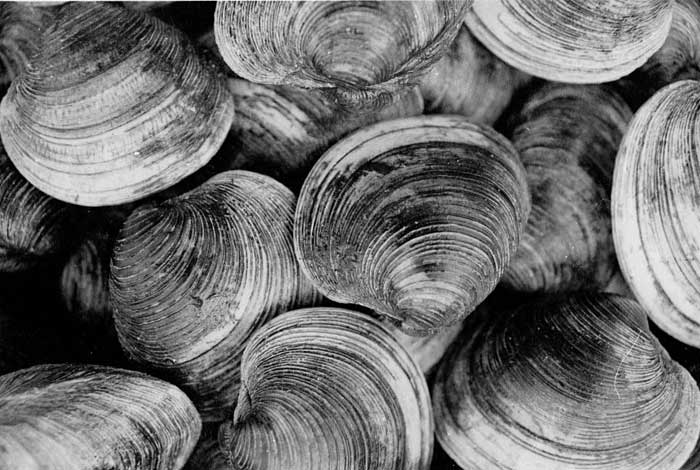 RI SHELLFISH HERITAGE: AN ECOLOGICAL HISTORY
